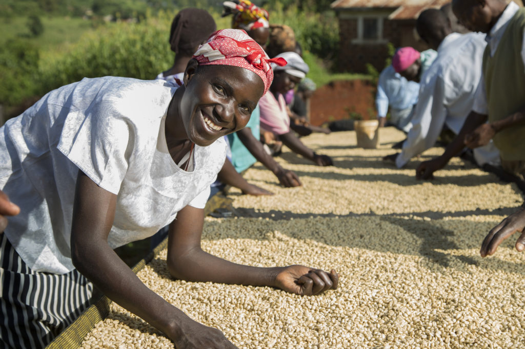 coffee farmers sort coffee on drying beds