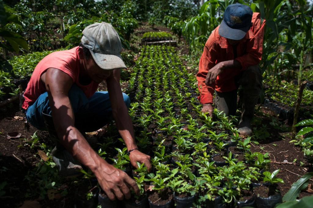 Two men work among thousands of coffee seedlings at a coffee nursery located in the community of Las Brisas. Photo by Morgan Arnold, for LWR.